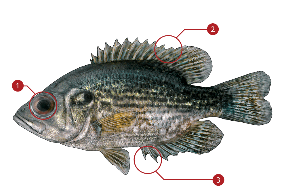 How to Identify a Rock Bass