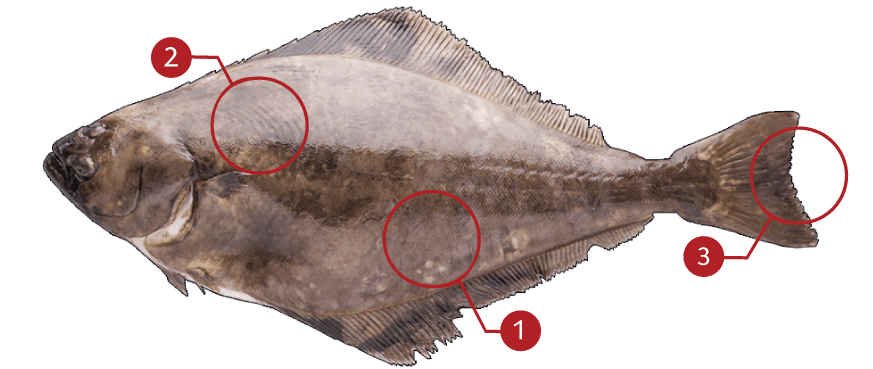 How to Identify a Atlantic Halibut