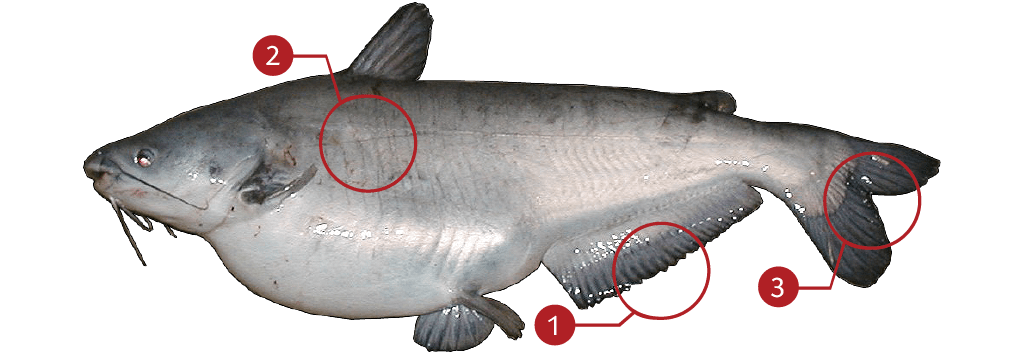 How to Identify a Blue Catfish