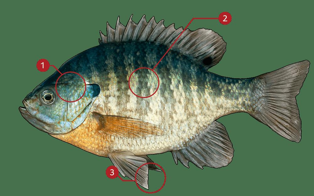 How to Identify a Bluegill