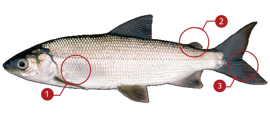 How to Identify a Cisco (Lake Herring)