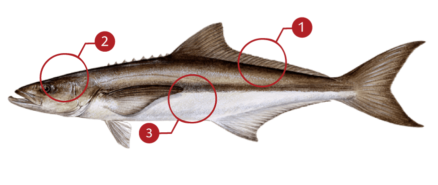 How to Identify a Cobia