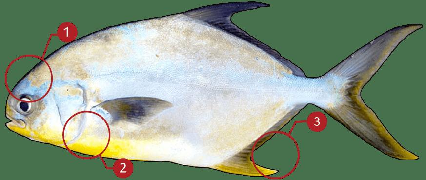 How to Identify Florida Pompano