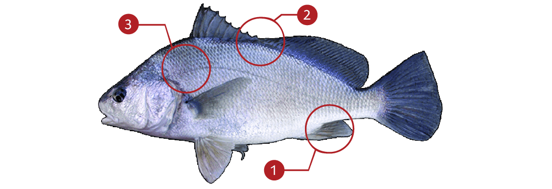 How to Identify a Freshwater Drum