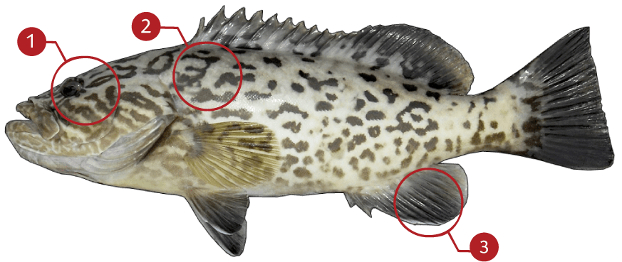 How to Identify a Gag Grouper