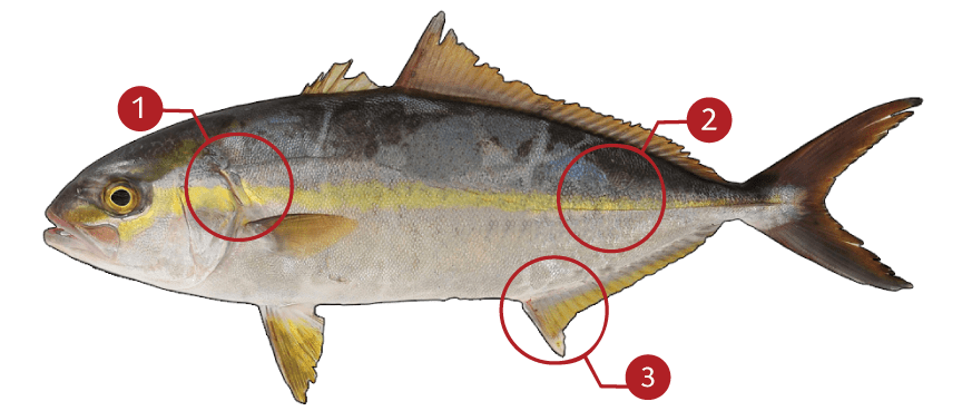 How to Identify a Greater Amberjack