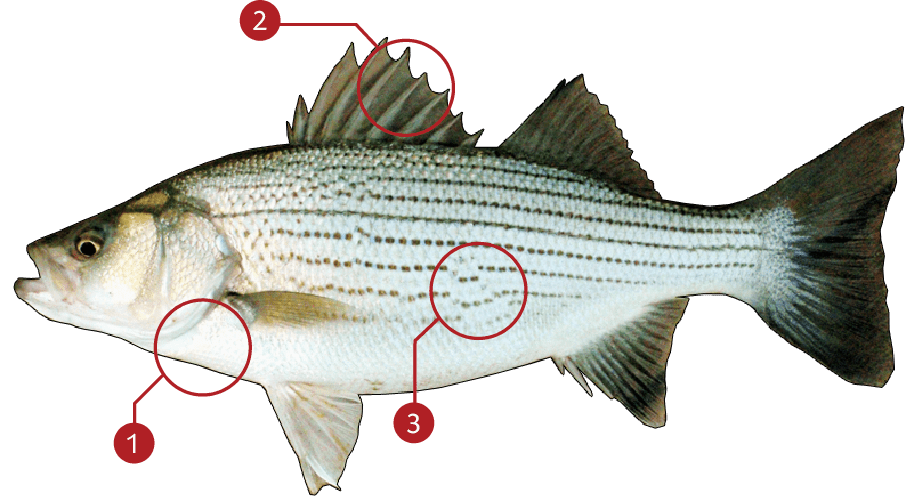 How to Identify a Striped Bass
