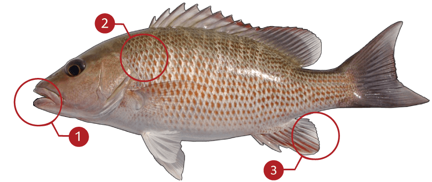 How to Identify a Mangrove Snapper