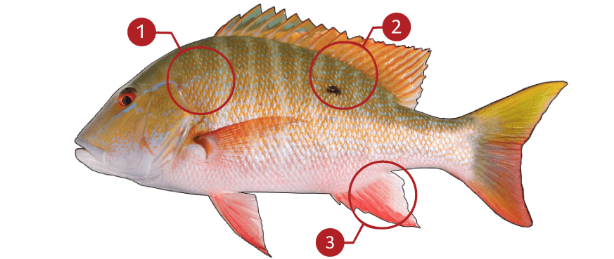 How to Identify a Mutton Snapper