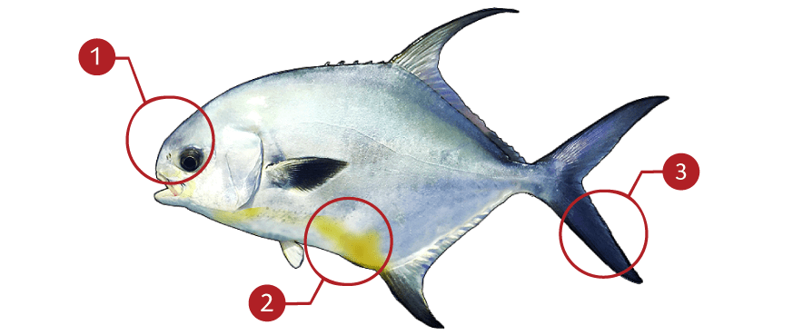 How to Identify Permit Fish