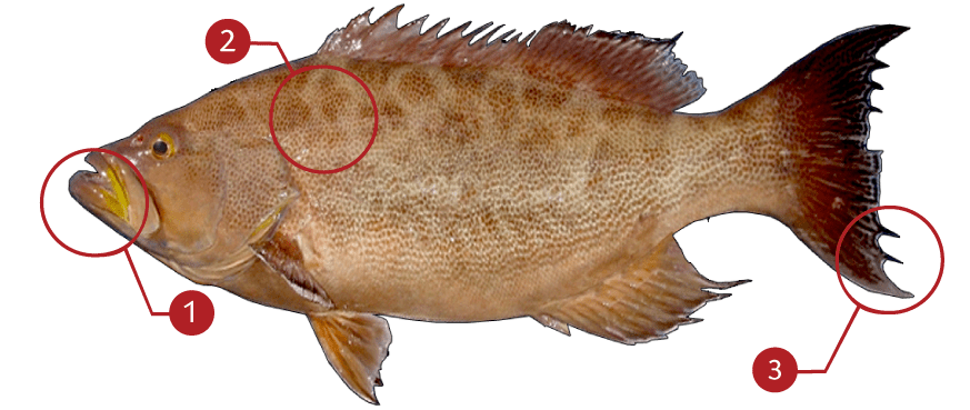How to Identify a Scamp Grouper