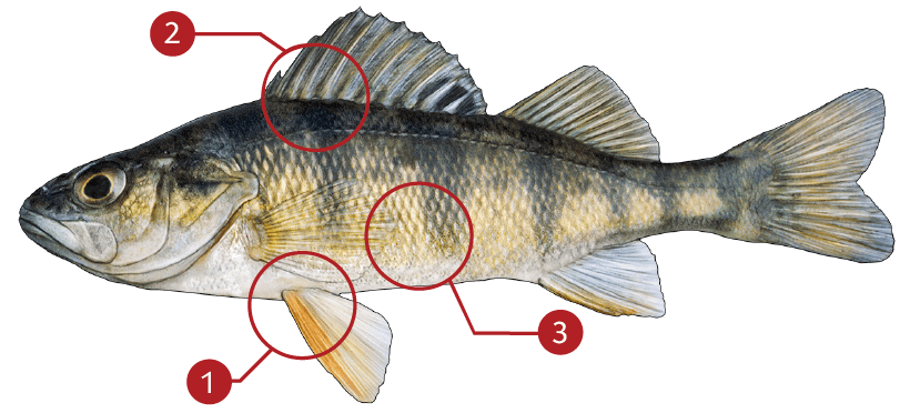 How to Identify a Yellow Perch