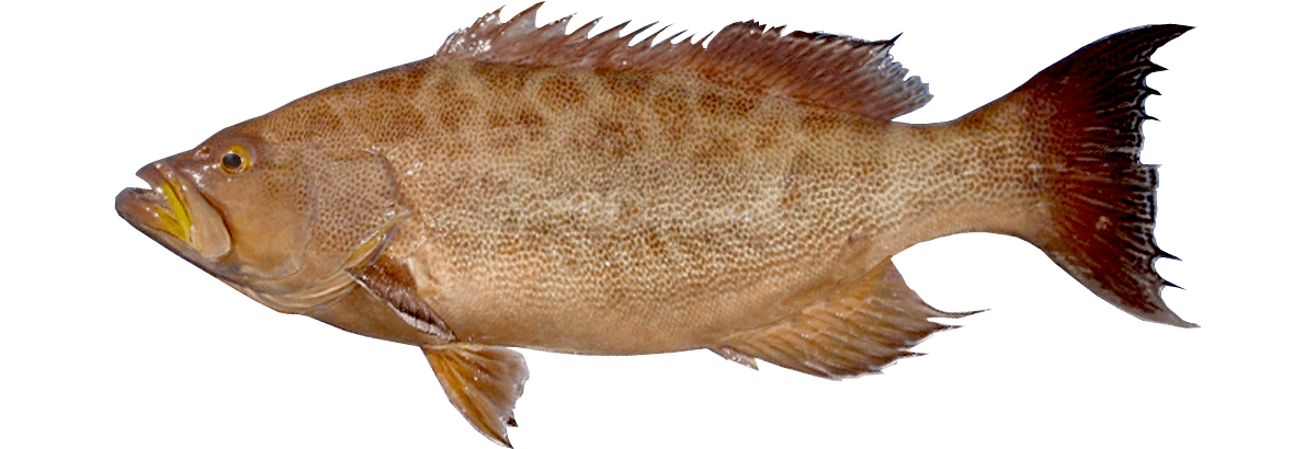 Scamp Grouper