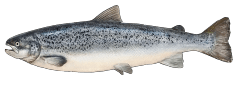AtlanticSalmon.png