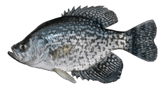 BlackCrappie.png