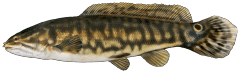 Bowfin.png