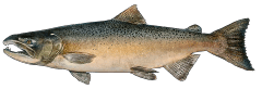 ChinookSalmon.png