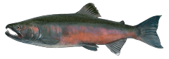 CohoSalmon.png