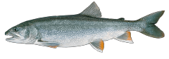 LakeTrout.png