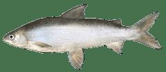 LakeWhitefish.png
