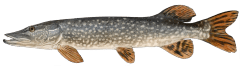 NorthernPike.png