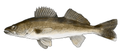 Walleye.png