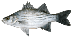 WhiteBass.png