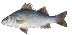 WhitePerch.png