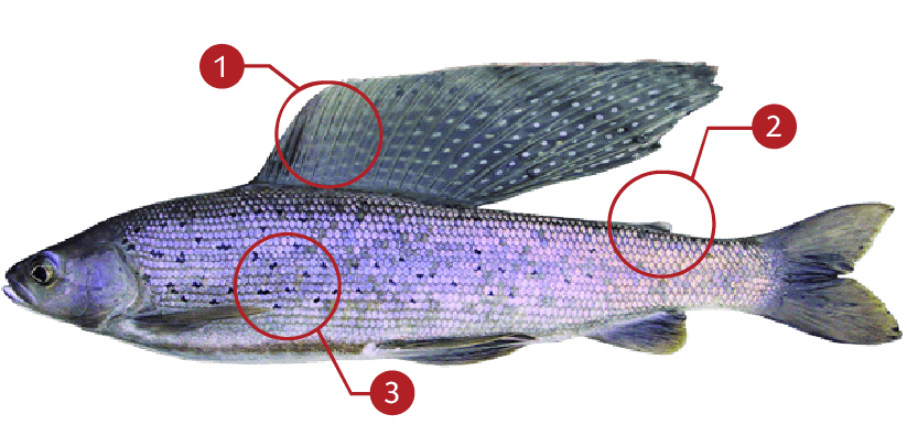 How to Identify a Arctic Grayling