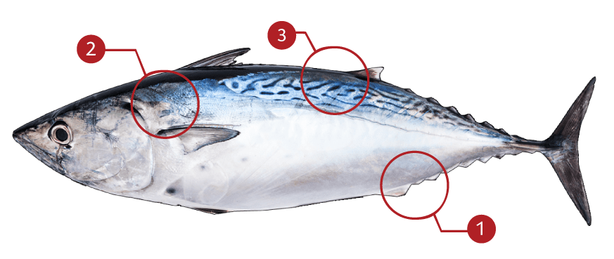 How to Identify an Atlantic Bonito