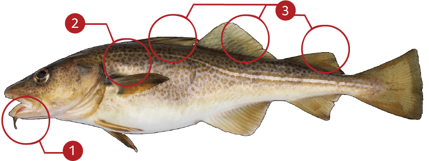How to Identify an Atlantic Cod