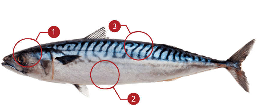 How to Identify a Atlantic Mackerel