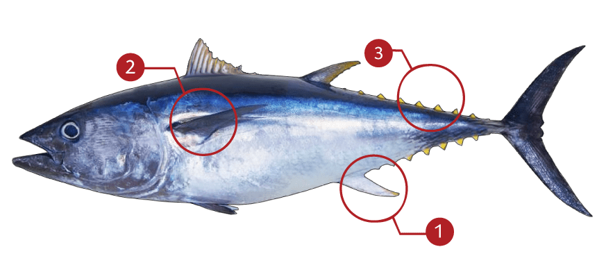 How to Identify an Bluefin Tuna
