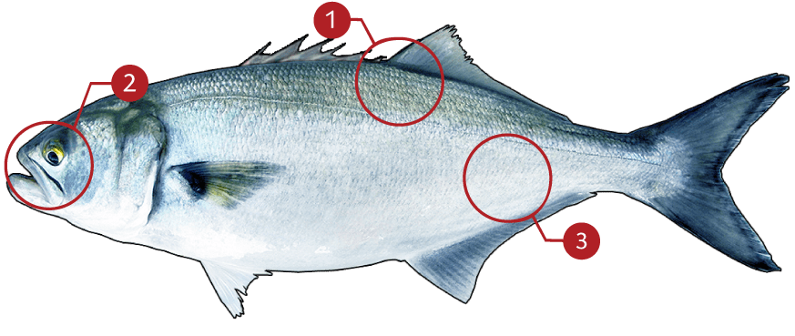 How to Identify Bluefish