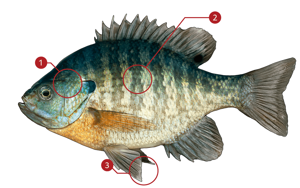 How to Identify a Bluegill