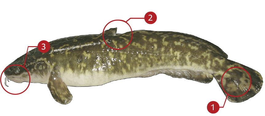 How to Identify a Burbot