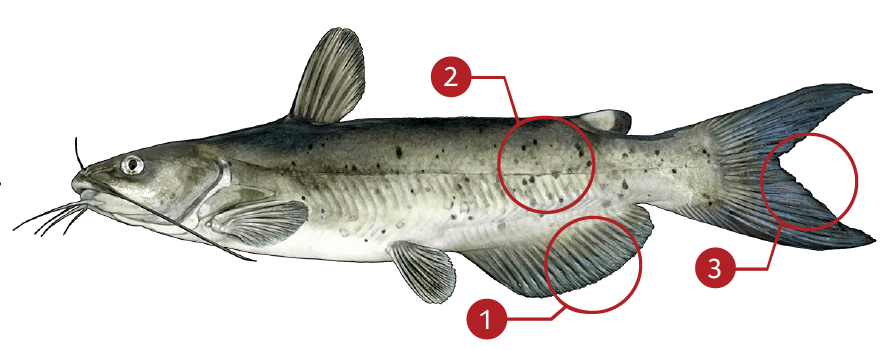 How to Identify a Channel Catfish