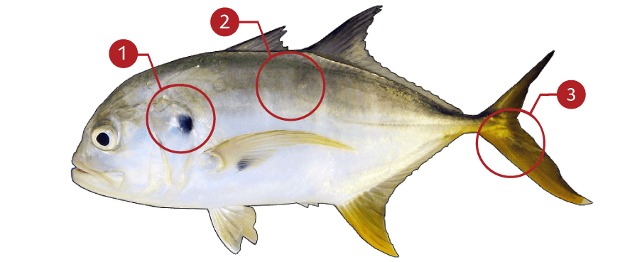 How to Identify Cravalle Jack