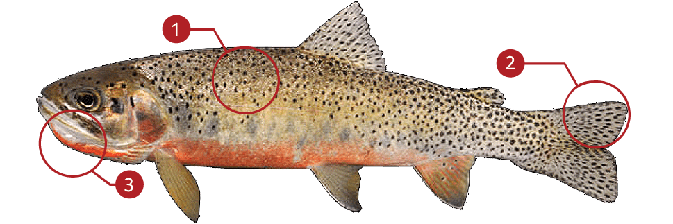 How to Identify a Cutthroat Trout