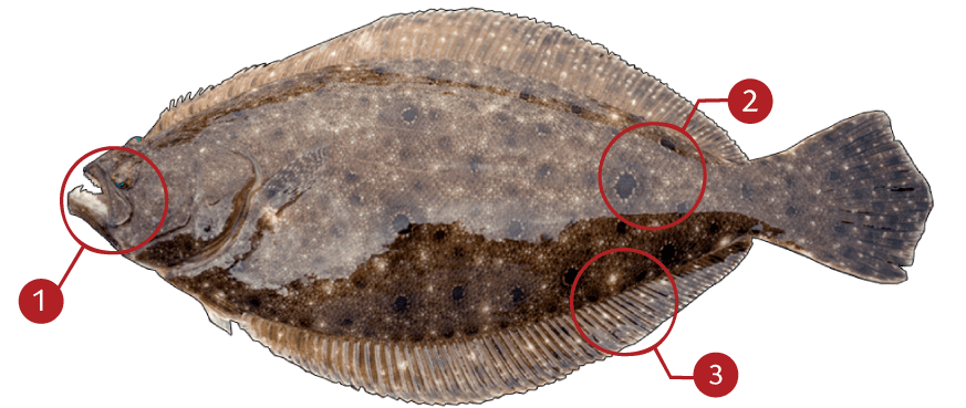 How to Identify a Flounder