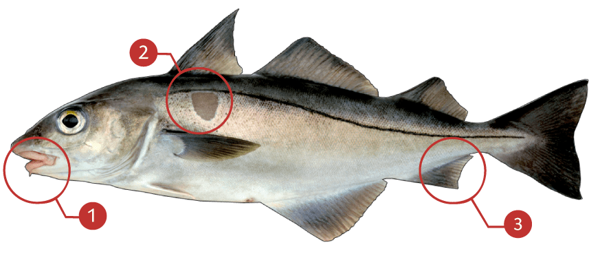 How to Identify a Haddock