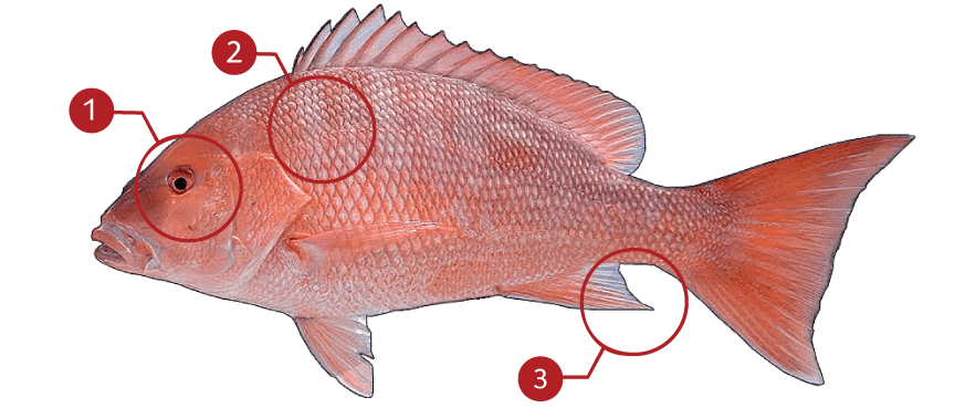How to Identify a Red Snapper