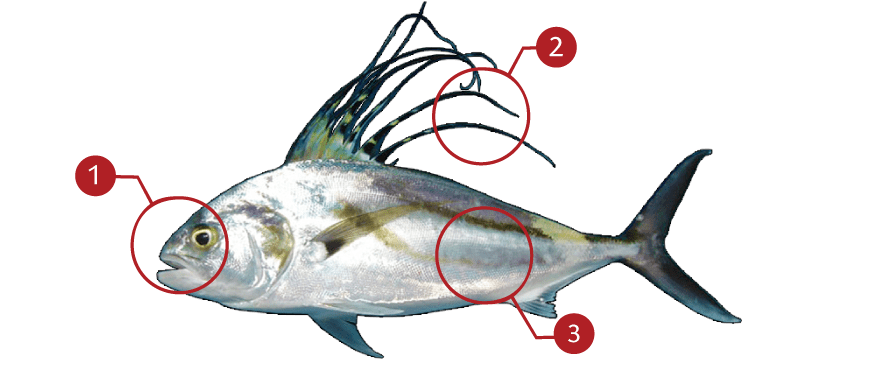 How to Identify a Roosterfish