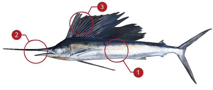 How to Identify Mahi-Mahi