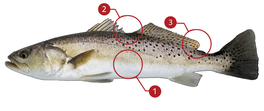 How to Identify a Spotted Seatrout