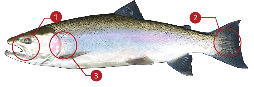 How to Identify a Steelhead