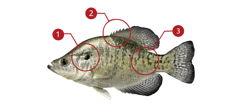 How to Catch White Crappie