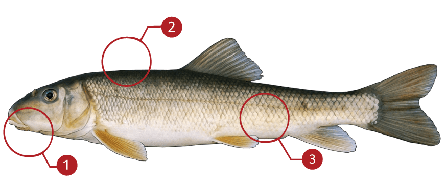 How to Identify a White Sucker