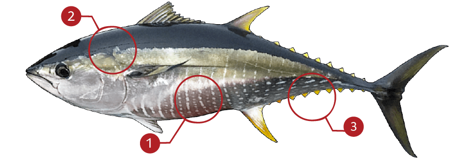 How to Identify a Yellowfin Tuna