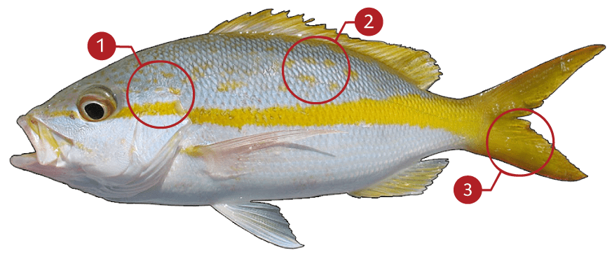 How to Identify a Yellowtail Snapper